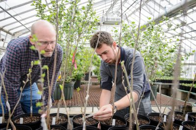 Mark Brand, left, professor of plant science and landcapting, and Nathan Wojtyna look over grafted Aronia Mitschurinii plants at the Floriculture Greenhouse on May 1, 2015. This project was funded by an Idea Grant. (Peter Morenus/UConn Photo)