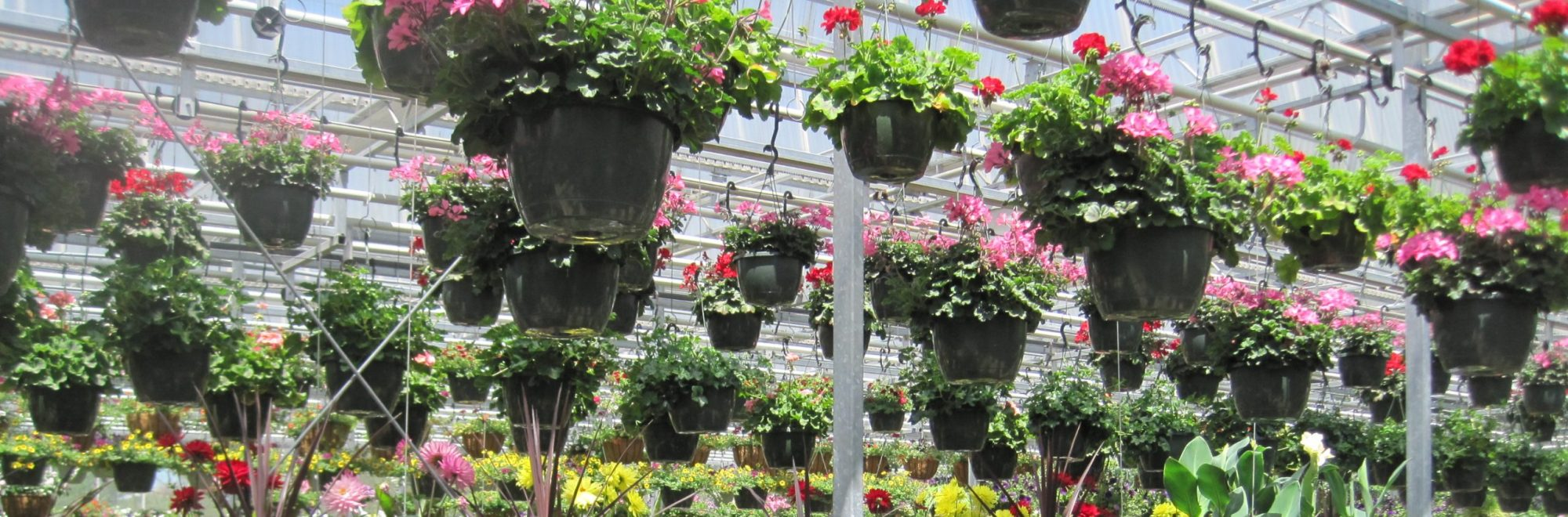 flowers and hanging basket in greenhouse at The Garden in Woodbury, CT, photo taken by Leanne Pundt